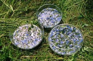esempio di preparazione del fiore della Veronica - metodo del sole